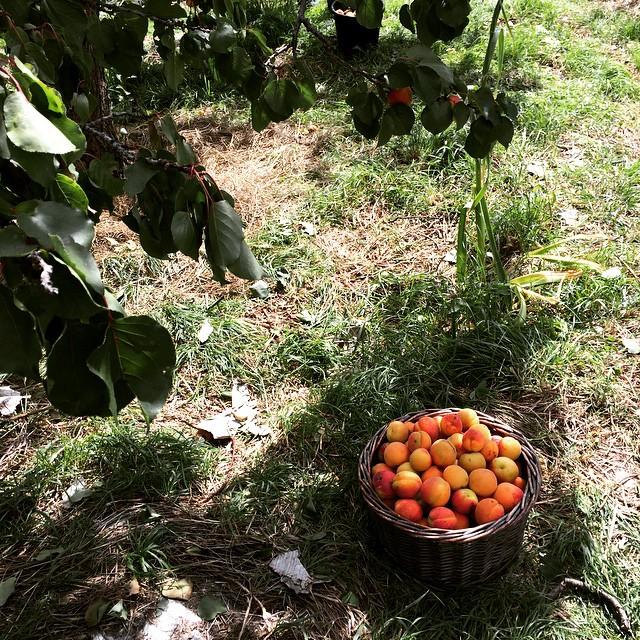 apricots_2