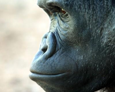 5485861_s_bonobo